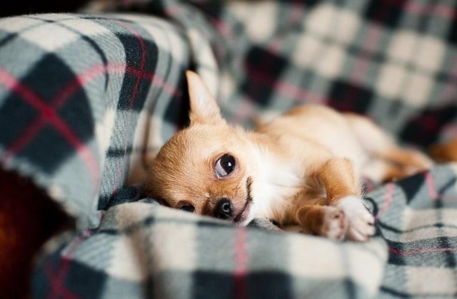 un chihuahua sur un canapé